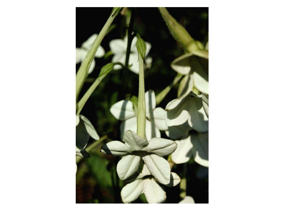 evening primrose (Oenothera, Onagraceae)