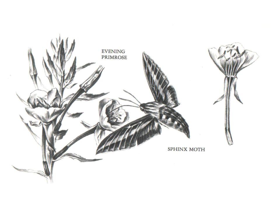 Angraecum sesquipedale © Esko Puupponen Xanthopan