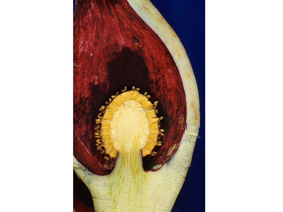 Stapelia - African carrion-insect dispersed flower