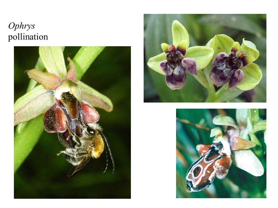 Ophrys pollination