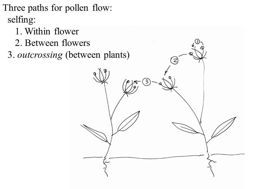 Three paths for pollen flow: selfing: 1. Within flower 2. Between flowers 3. outcrossing (between plants)