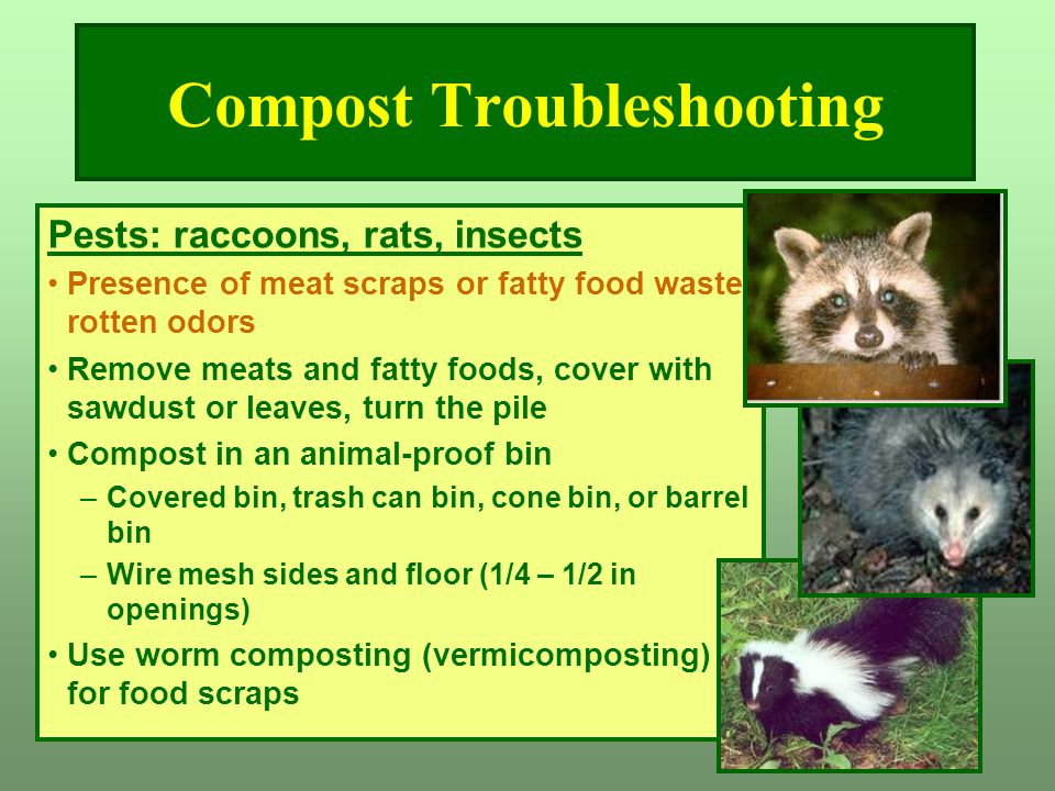 Compost Troubleshooting Pests: raccoons, rats, insects Presence of meat scraps or fatty food waste, rotten odors Remove meats and fatty foods, cover w
