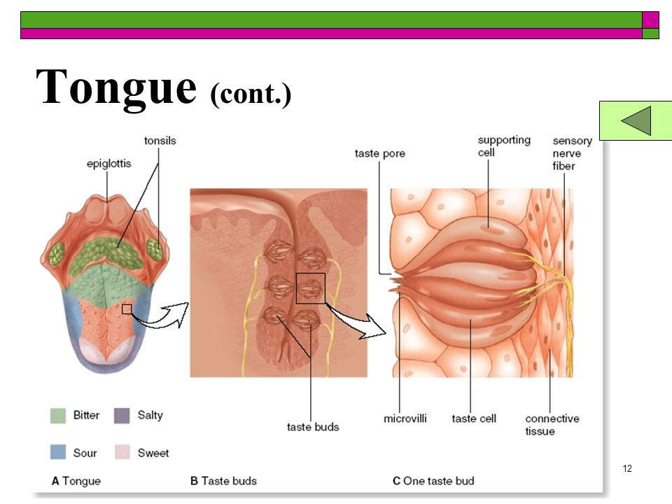 11 Tongue  Taste or gustatory receptors –taste buds  Found on the bumps of the tongue (papillae)  Taste buds are microscopic  Also on roof of your mouth and walls of your throat  Taste or gustatory receptors –taste buds  Found on the bumps of the tongue (papillae)  Taste buds are microscopic  Also on roof of your mouth and walls of your throat Click for Larger View