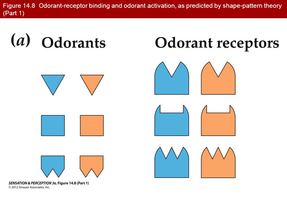 Figure 14.8 Odorant-receptor binding and odorant activation, as predicted by shape-pattern theory (Part 1)