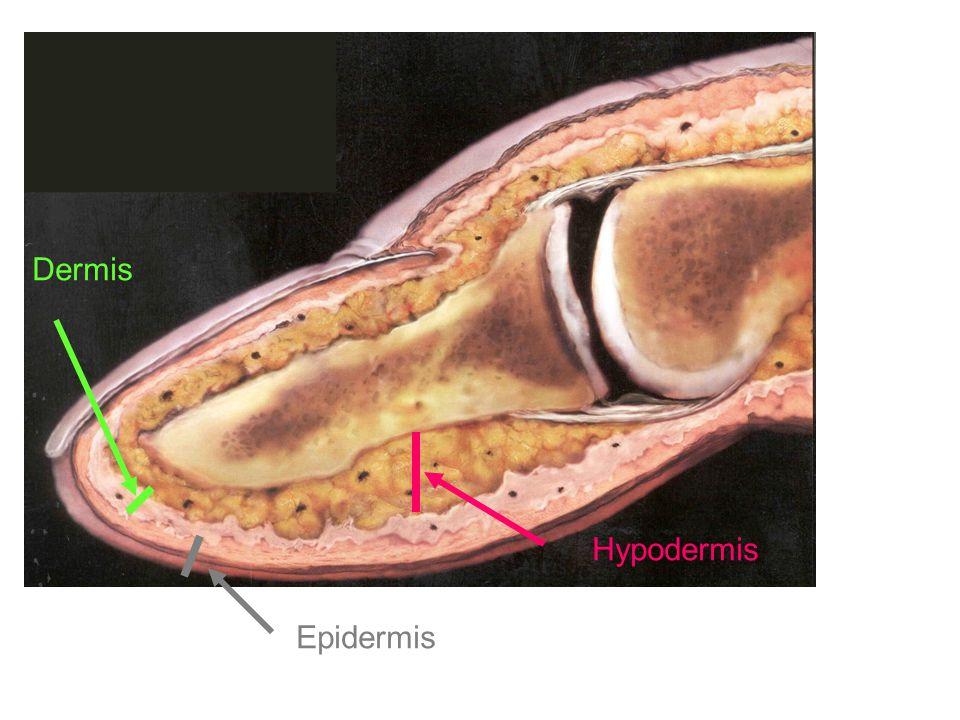 Hypodermis Dermis Epidermis
