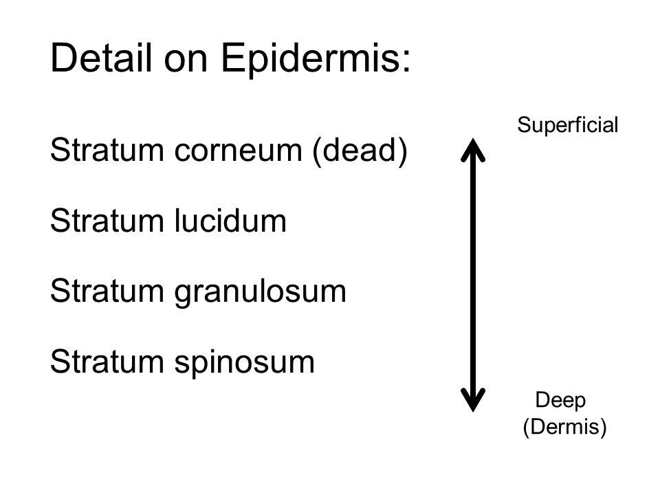 Detail on Epidermis: Stratum corneum (dead) Stratum lucidum Stratum granulosum Stratum spinosum Superficial Deep (Dermis)