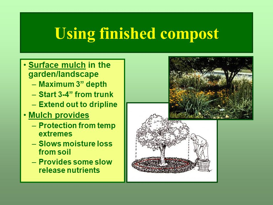 "Using finished compost Surface mulch in the garden/landscape –Maximum 3"" depth –Start 3-4"" from trunk –Extend out to dripline Mulch provides –Protecti"