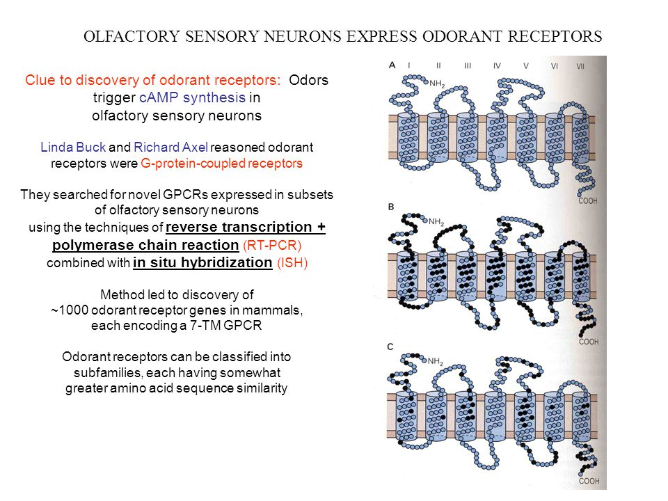 OLFACTORY SENSORY NEURONS EXPRESS ODORANT RECEPTORS Clue to discovery of odorant receptors: Odors trigger cAMP synthesis in olfactory sensory neurons