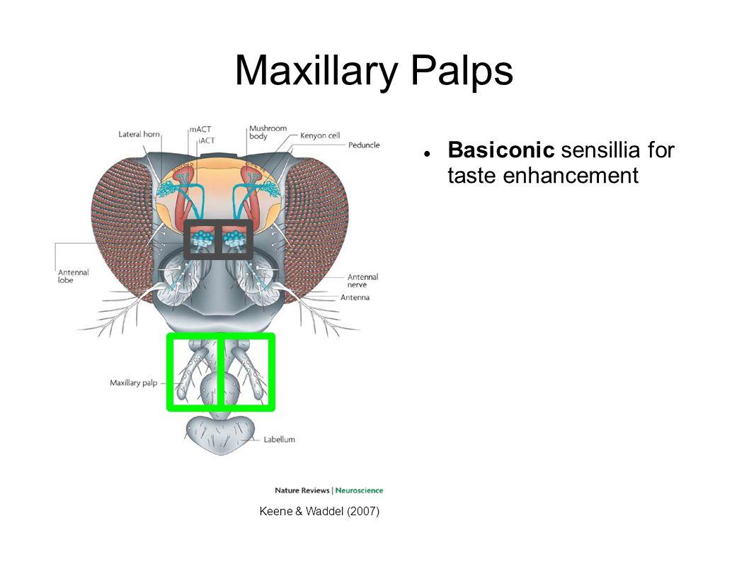 Maxillary Palps Keene & Waddel (2007) Basiconic sensillia for taste enhancement