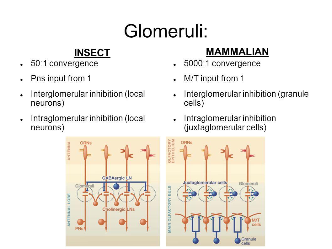 Glomeruli: 50:1 convergence Pns input from 1 Interglomerular inhibition (local neurons) Intraglomerular inhibition (local neurons) 5000:1 convergence