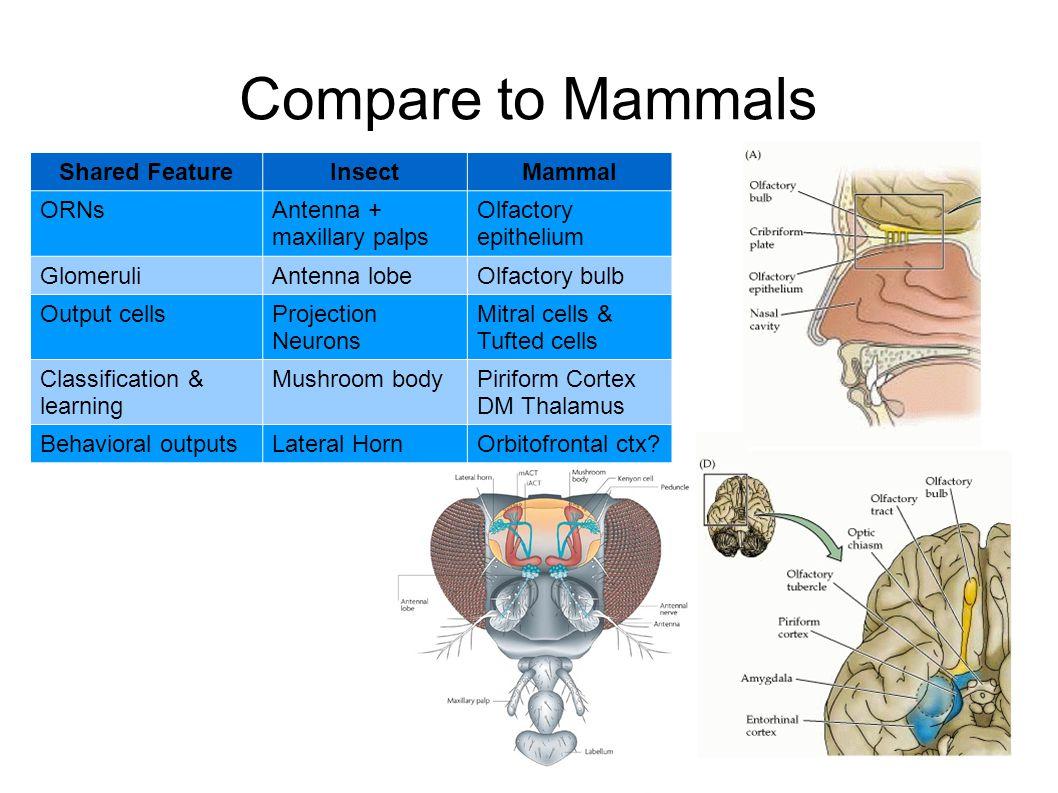 Compare to Mammals Shared FeatureInsectMammal ORNsAntenna + maxillary palps Olfactory epithelium GlomeruliAntenna lobeOlfactory bulb Output cellsProje