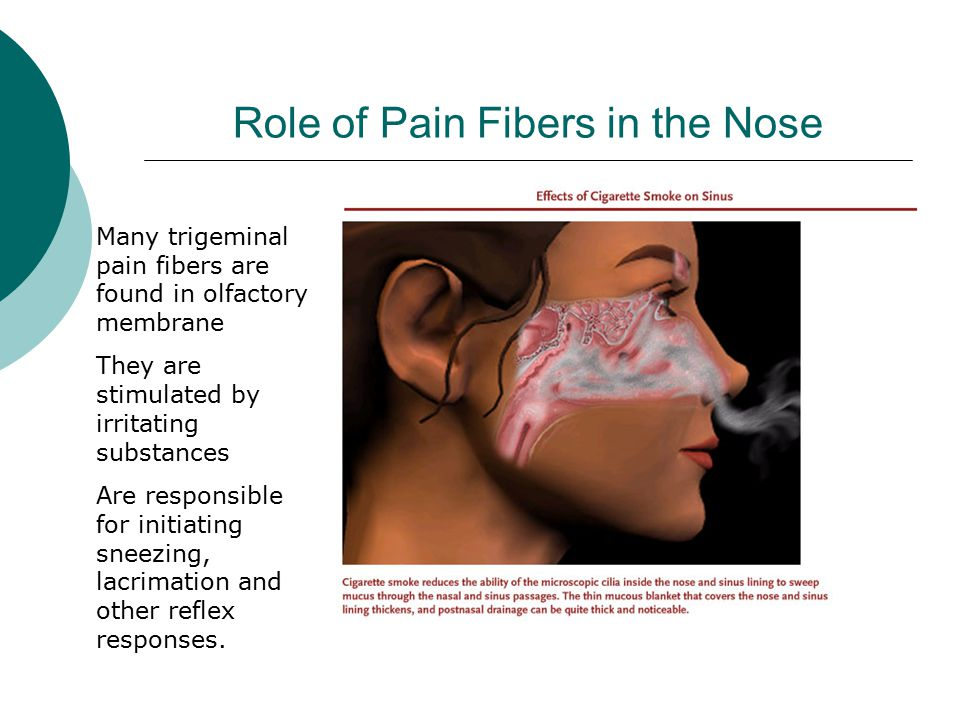 Role of Pain Fibers in the Nose Many trigeminal pain fibers are found in olfactory membrane They are stimulated by irritating substances Are responsible for initiating sneezing, lacrimation and other reflex responses.