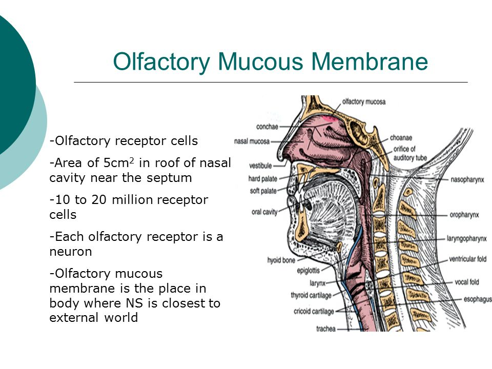Olfactory Mucous Membrane -Olfactory receptor cells -Area of 5cm 2 in roof of nasal cavity near the septum -10 to 20 million receptor cells -Each olfactory receptor is a neuron -Olfactory mucous membrane is the place in body where NS is closest to external world