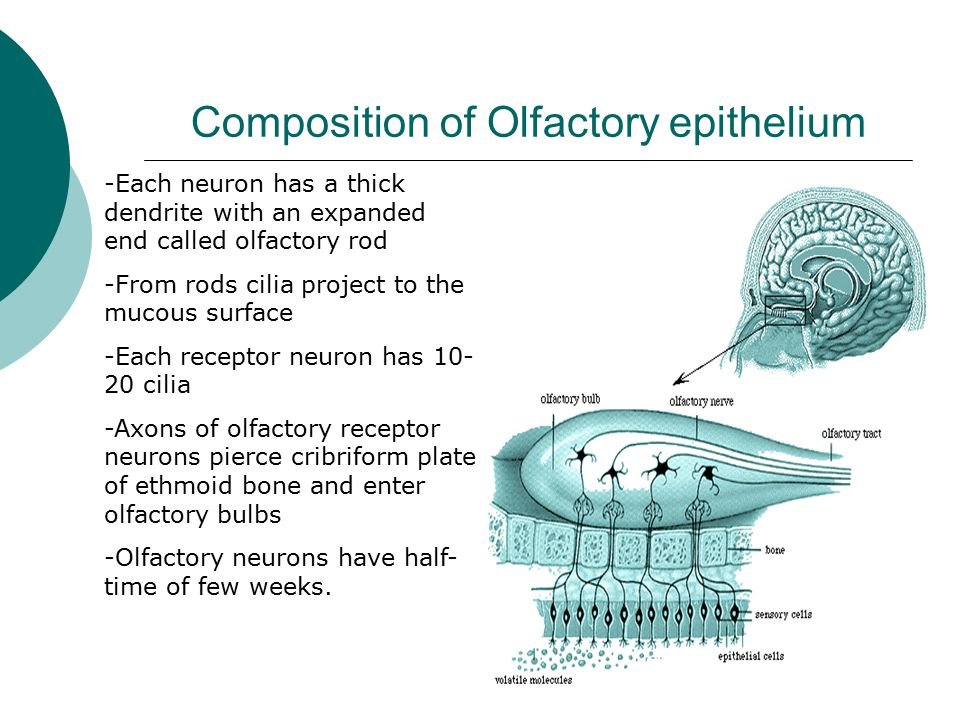 Composition of Olfactory epithelium -Each neuron has a thick dendrite with an expanded end called olfactory rod -From rods cilia project to the mucous surface -Each receptor neuron has 10- 20 cilia -Axons of olfactory receptor neurons pierce cribriform plate of ethmoid bone and enter olfactory bulbs -Olfactory neurons have half- time of few weeks.