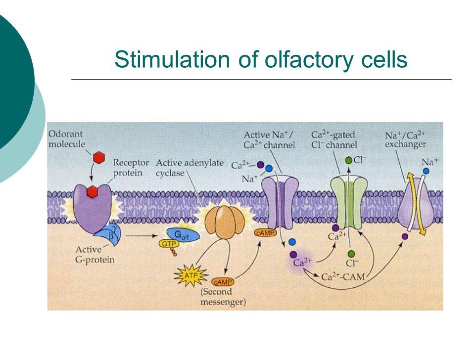 Stimulation of olfactory cells