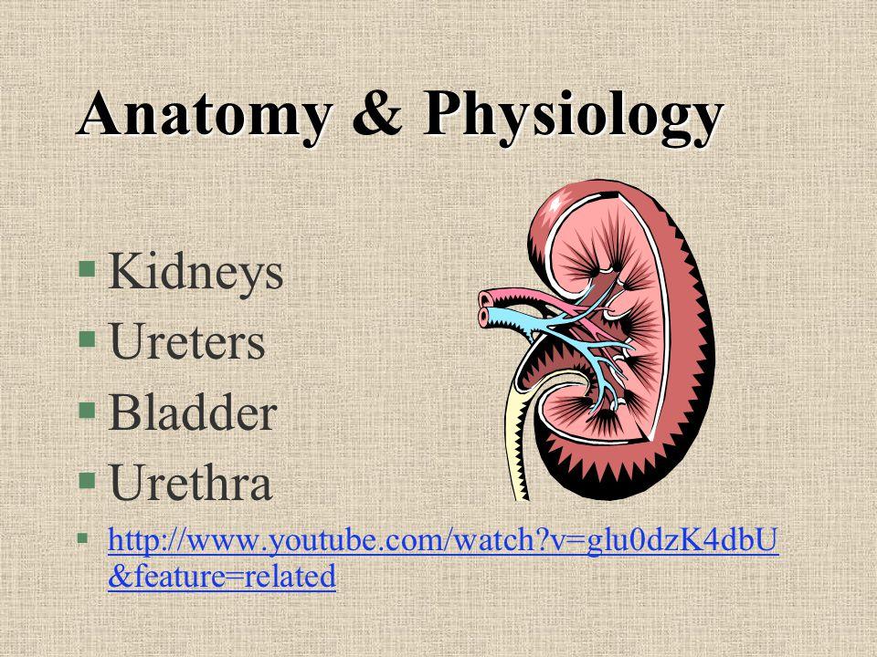 AnatomyPhysiology Anatomy & Physiology §Kidneys §Ureters §Bladder §Urethra §http://www.youtube.com/watch?v=glu0dzK4dbU &feature=relatedhttp://www.yout