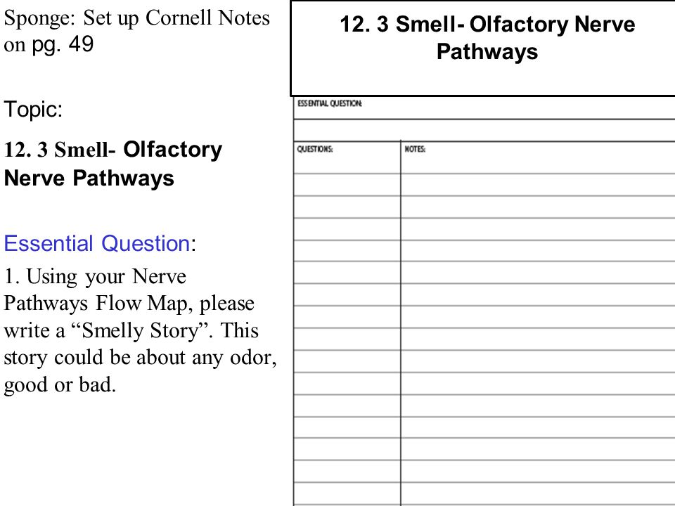 Sponge: Set up Cornell Notes on pg. 49 Topic: 12. 3 Smell- Olfactory Nerve Pathways Essential Question: 1. Using your Nerve Pathways Flow Map, please