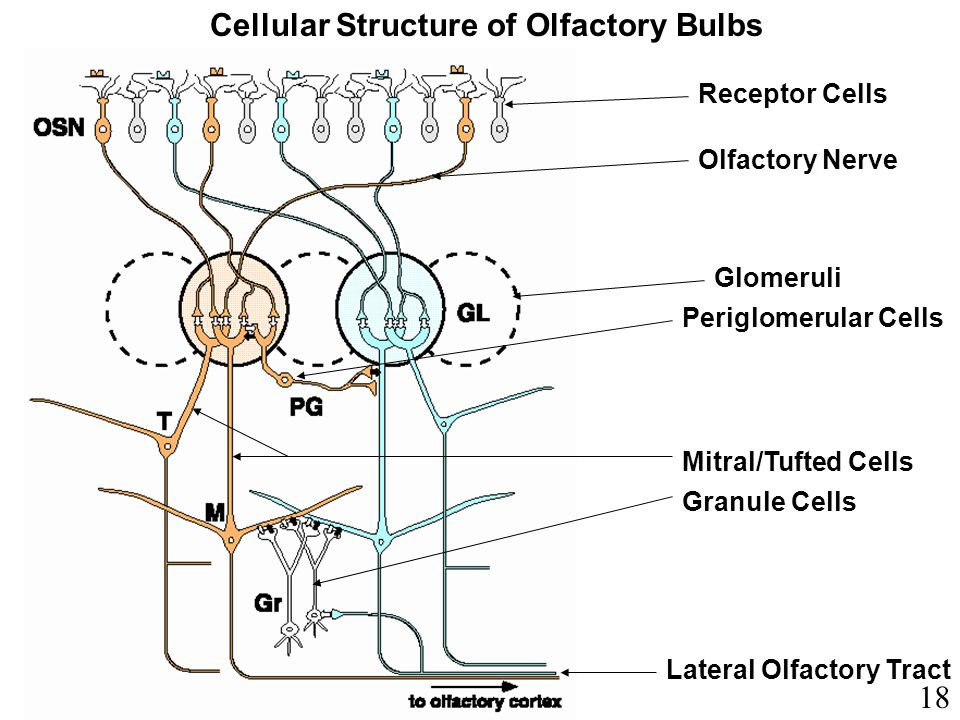Cellular Structure of Olfactory Bulbs Lateral Olfactory Tract Glomeruli Olfactory Nerve Periglomerular Cells Granule Cells Mitral/Tufted Cells Recepto
