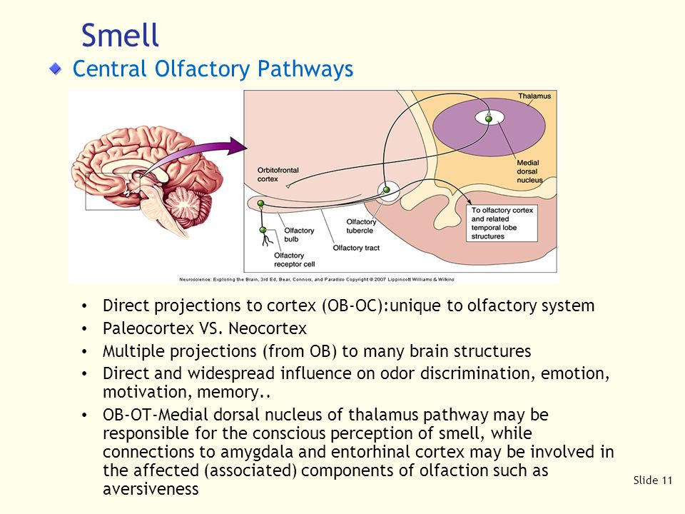 Slide 11 Central Olfactory Pathways Direct projections to cortex (OB-OC):unique to olfactory system Paleocortex VS.