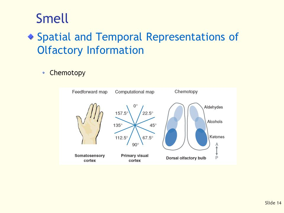 Slide 14 Spatial and Temporal Representations of Olfactory Information Chemotopy Smell