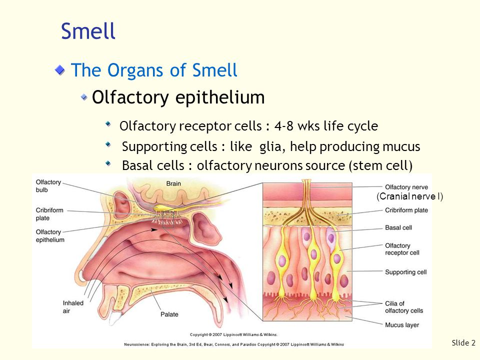 Slide 3 Smell The Organs of Smell Mucus layer : water base with mucopolysaccharides antibodies - critical defense en route to brain various enzymes odorant binding proteins - concentrate odorants Olfactory acuity : The size of olfactory epithelium and the number of olfactory receptors e.g.