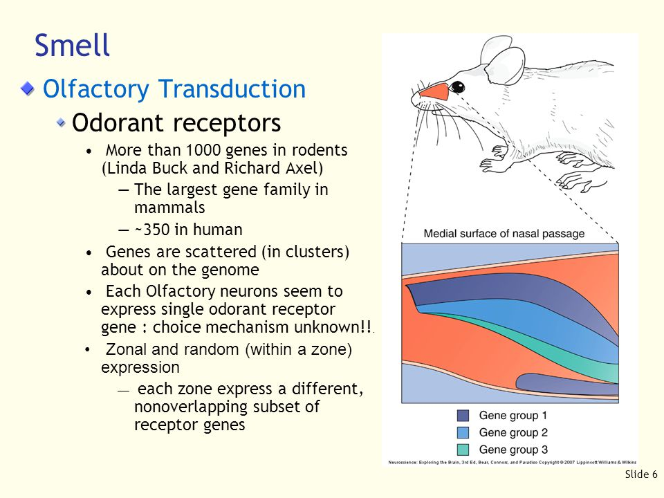 Slide 7 Olfactory Transduction Smell VNO has its own receptors : —~300 in mice, 5 in humans —Structurally different from odorant receptors —Ligands are largely unknown Unusual cAMP gated channels are evolutionarily conserved : Used in the visual transduction as well Recent finding suggests both olfactory system and vomeronasal system regulate behavioral outcome such as reproduction Population coding : both odorant type (which cells) and strength (how active) are used to classify the odors