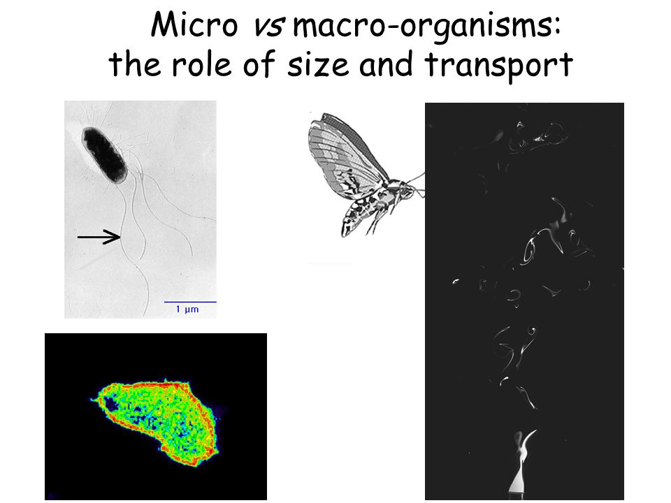 Micro vs macro-organisms: the role of size and transport