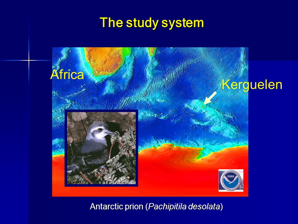 Kerguelen Africa Antarctic prion (Pachipitila desolata) The study system