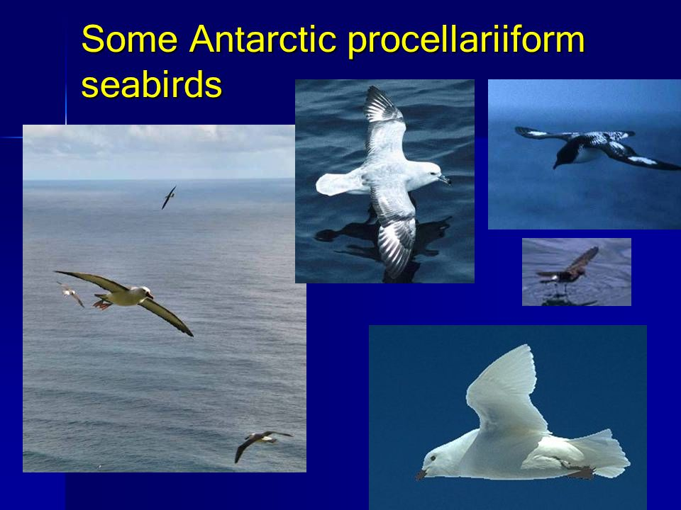 Some Antarctic procellariiform seabirds