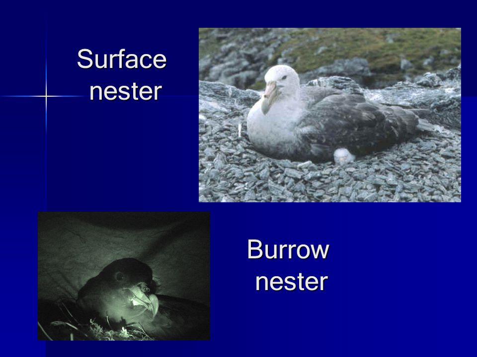 Surfacenester Burrow nester nester
