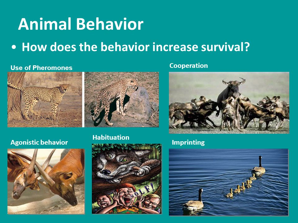 Animal Behavior How does the behavior increase survival? Use of Pheromones Cooperation Agonistic behavior Habituation Imprinting