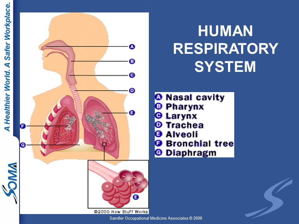 Sandler Occupational Medicine Associates © 2008 HUMAN RESPIRATORY SYSTEM