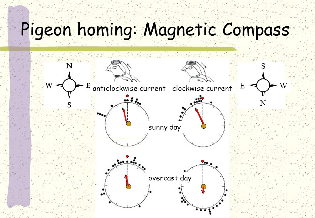 Pigeon homing: Magnetic Compass clockwise currentanticlockwise current sunny day overcast day S W E N