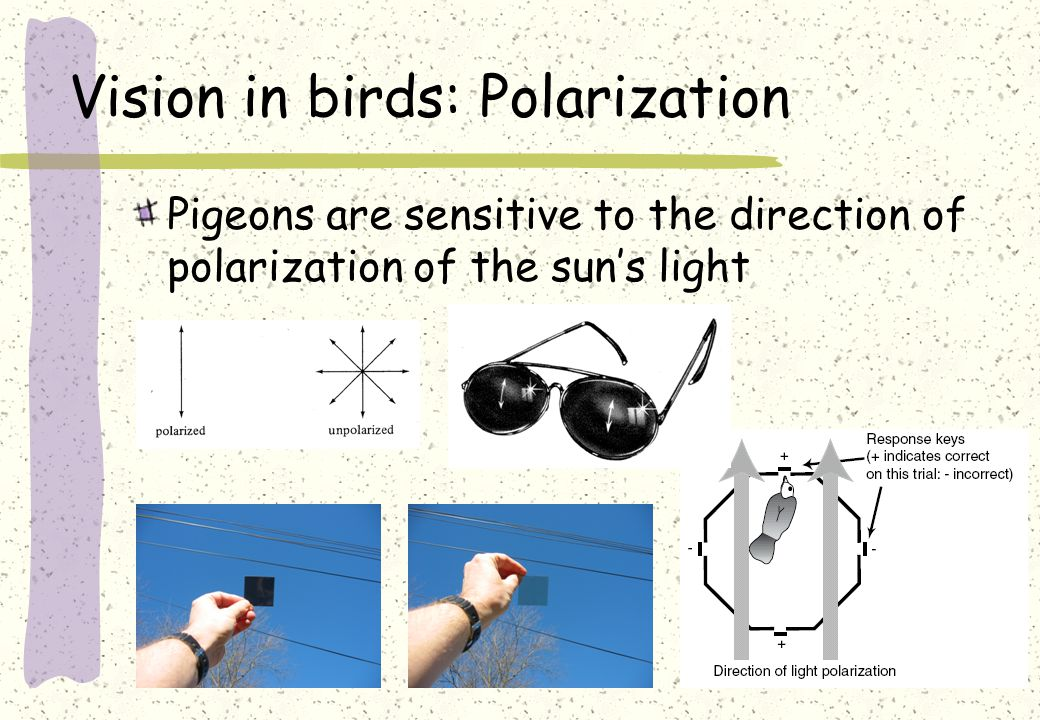 Vision in birds: Polarization Pigeons are sensitive to the direction of polarization of the sun's light