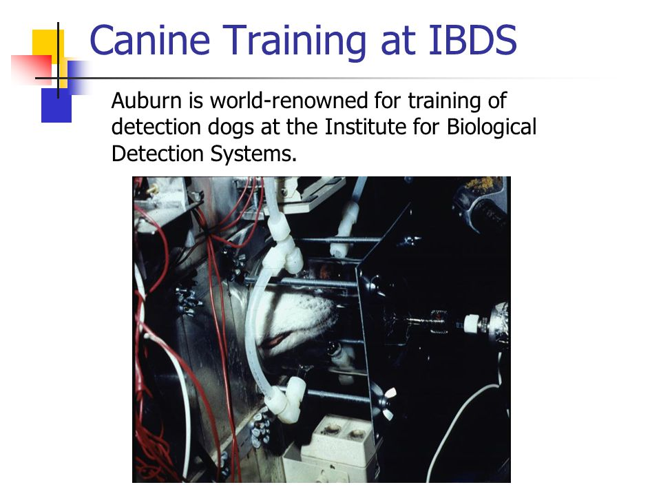 Canine Training at IBDS Auburn is world-renowned for training of detection dogs at the Institute for Biological Detection Systems.