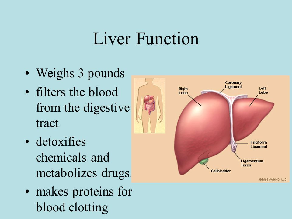 Liver Function Weighs 3 pounds filters the blood from the digestive tract detoxifies chemicals and metabolizes drugs.