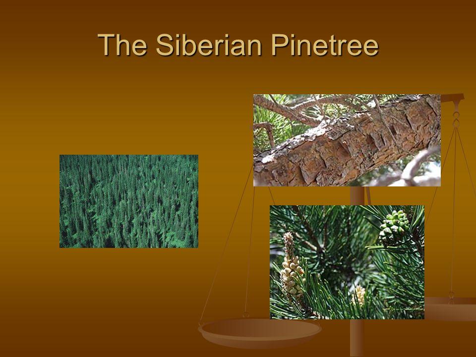 The Siberian Pinetree