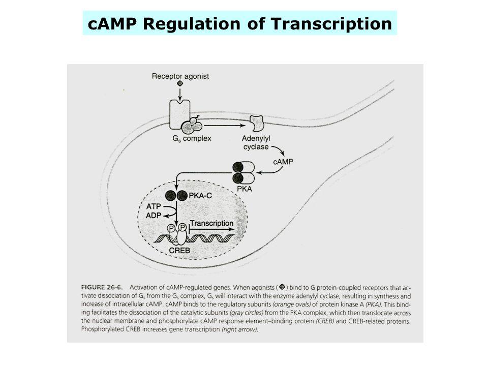 cAMP Regulation of Transcription