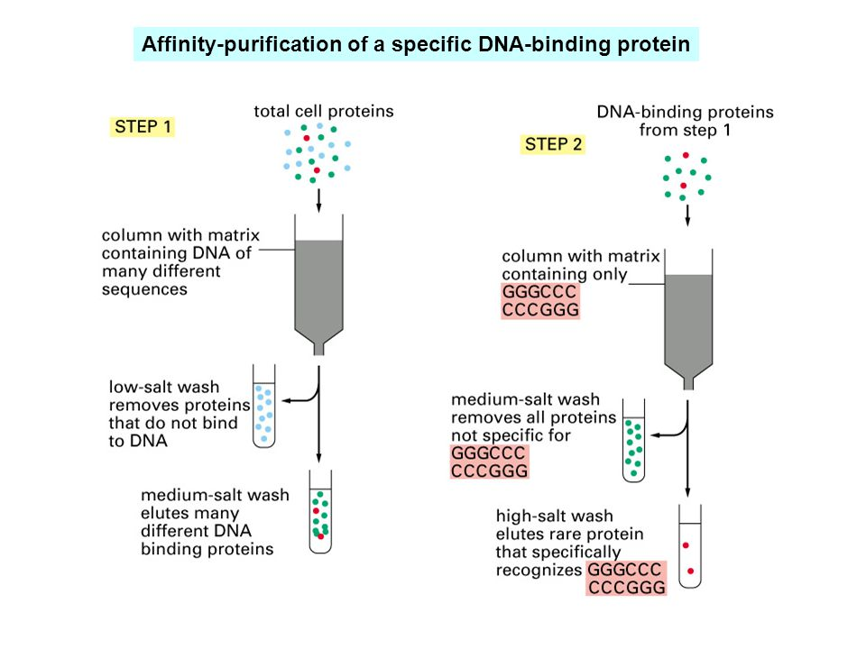 Affinity-purification of a specific DNA-binding protein