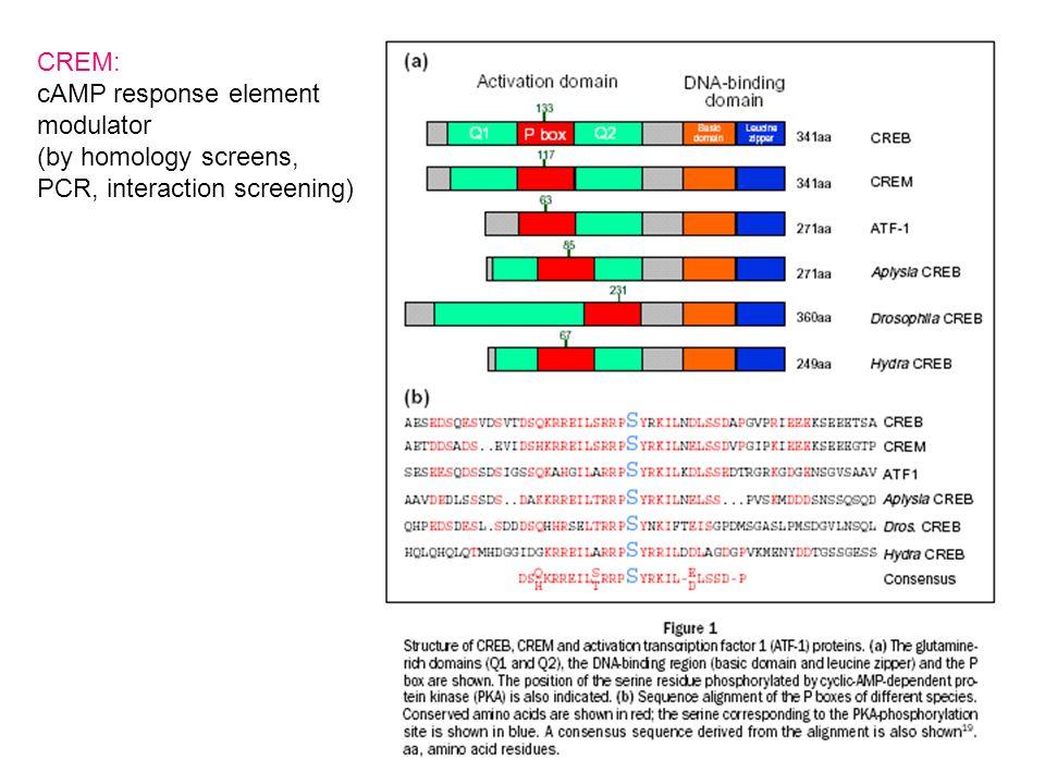 CREM: cAMP response element modulator (by homology screens, PCR, interaction screening)