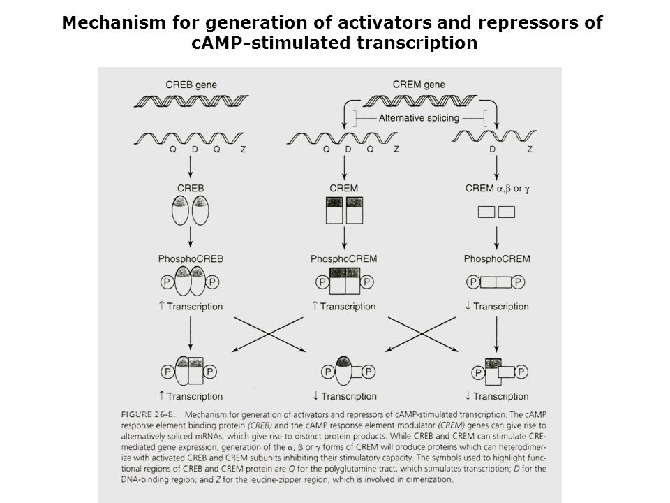Mechanism for generation of activators and repressors of cAMP-stimulated transcription