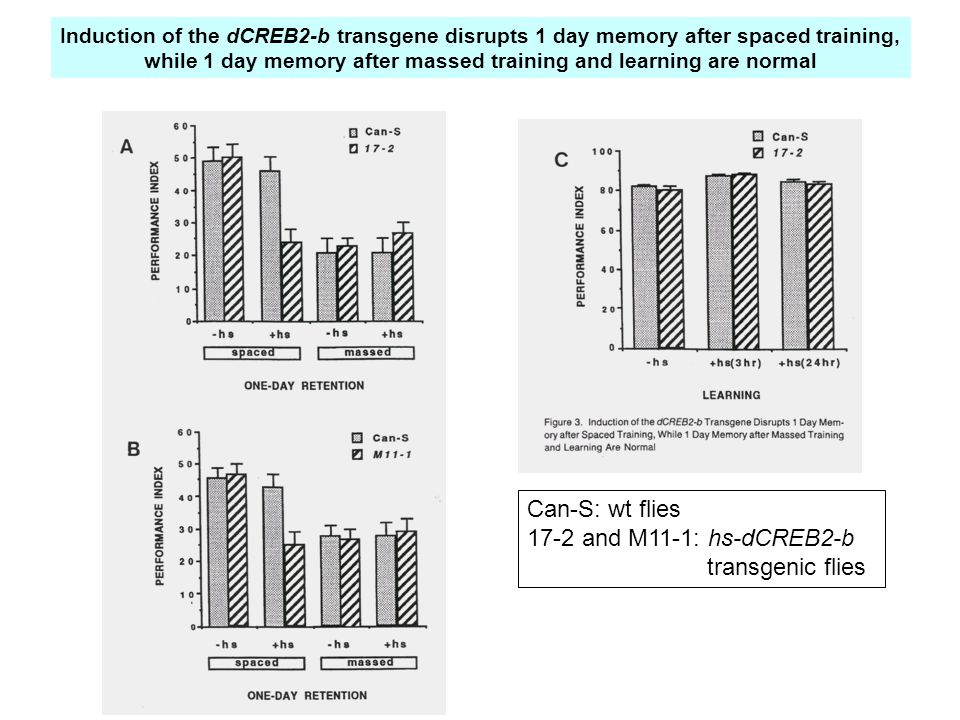 Can-S: wt flies 17-2 and M11-1: hs-dCREB2-b transgenic flies Induction of the dCREB2-b transgene disrupts 1 day memory after spaced training, while 1