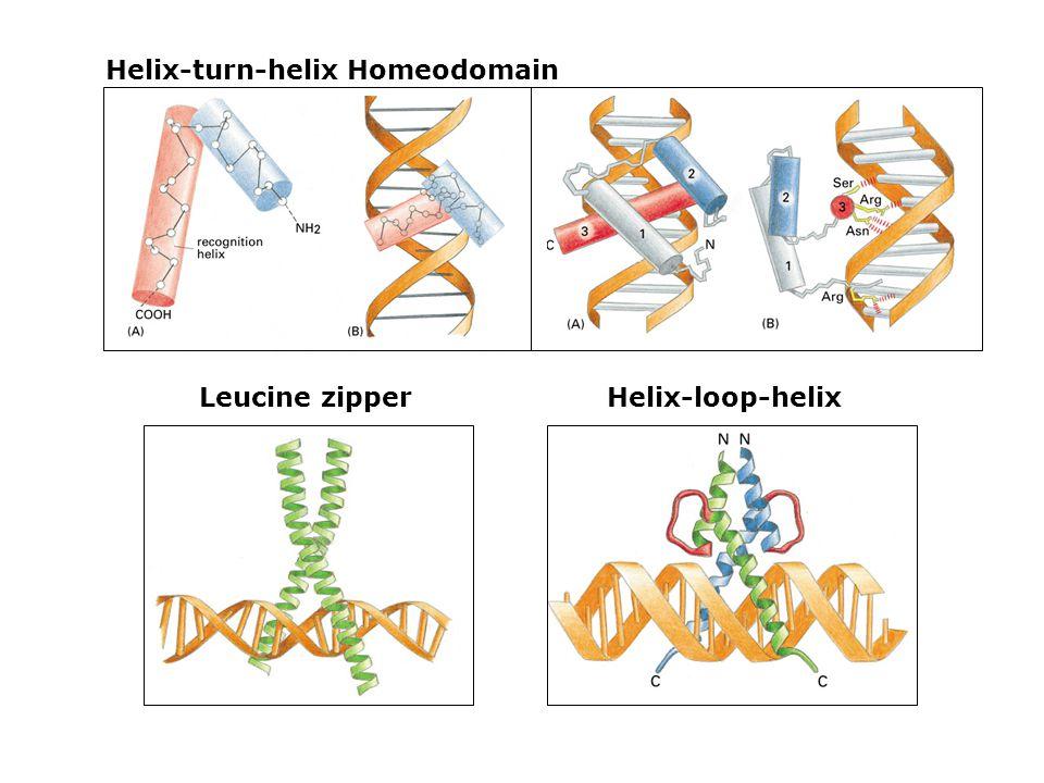Helix-turn-helix Homeodomain Helix-loop-helix Leucine zipper