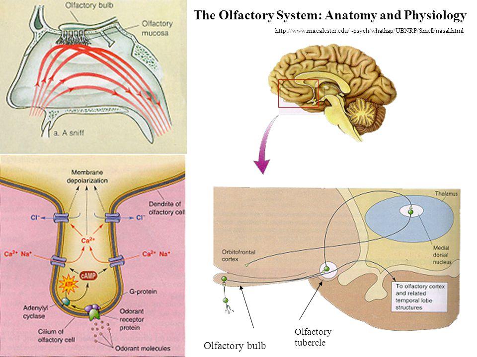 Basic flow of olfactory information in the brain http://sulcus.berkeley.edu/FLM/MS/Physio.Percept.html 100602 Brain command to sniff Sensory perceptio