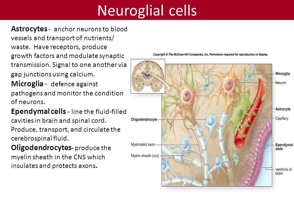 Neuroglial cells Astrocytes - anchor neurons to blood vessels and transport of nutrients/ waste.
