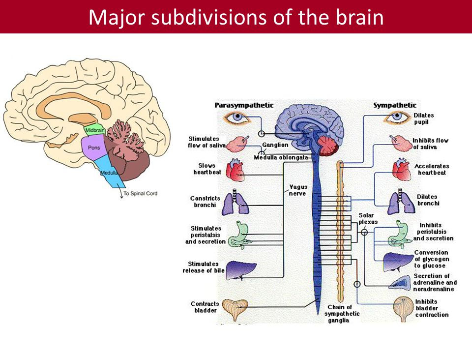 Major subdivisions of the brain