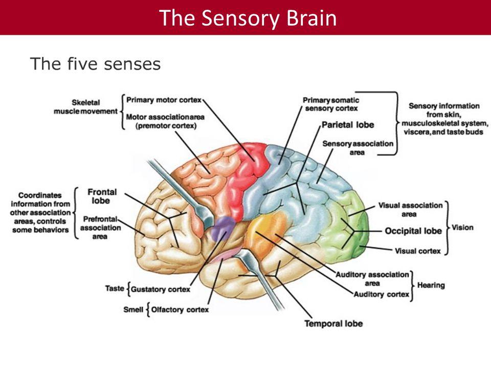 The Sensory Brain