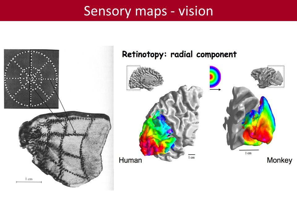 Sensory maps - vision