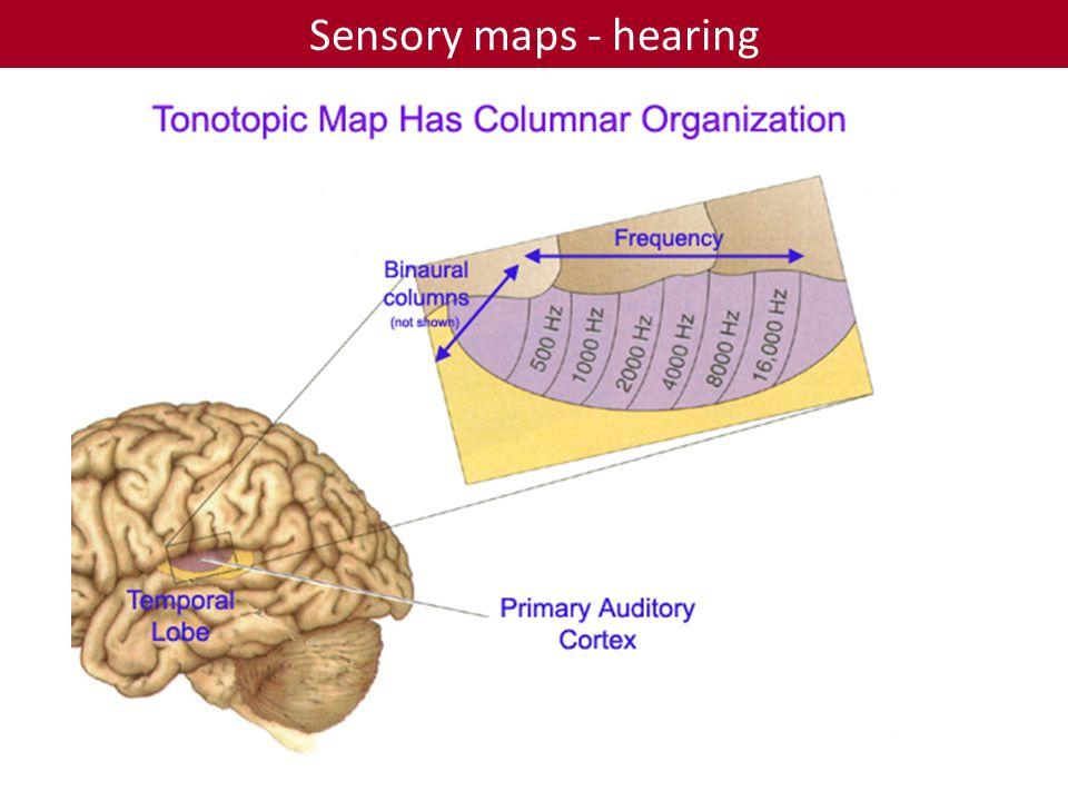 Sensory maps - hearing