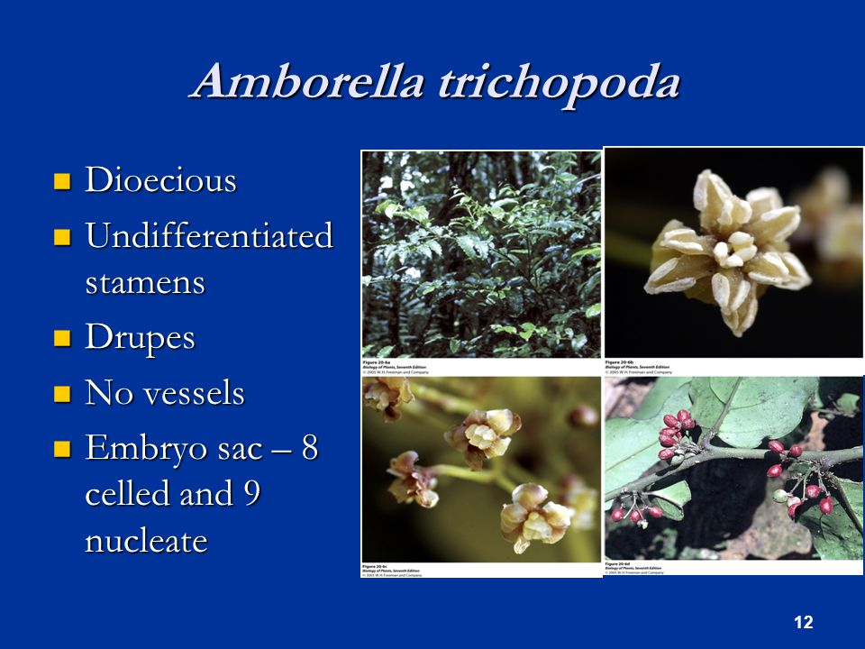 Amborella trichopoda Dioecious Dioecious Undifferentiated stamens Undifferentiated stamens Drupes Drupes No vessels No vessels Embryo sac – 8 celled and 9 nucleate Embryo sac – 8 celled and 9 nucleate 12